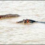 hippopotamuses-by-armin-rodler